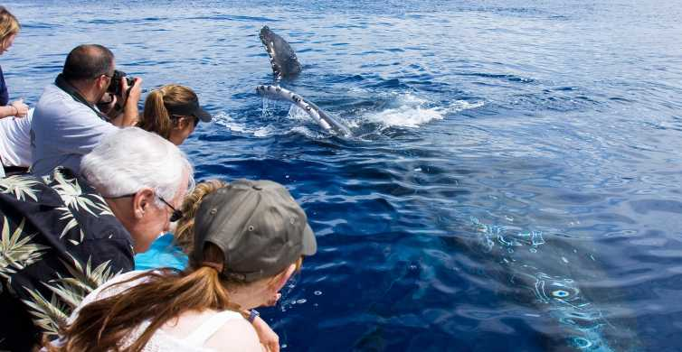 Maui: Umweltfreundliches Whale Watching ab Ma'alaea Harbor