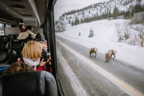 Jasper National Park Winter Wildlife Discovery Tour