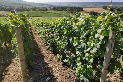 Visit of Epernay & Multiple Champagne Tastings in a Vineyard