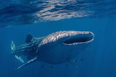 Coral Bay: Ningaloo Reef Swim and Snorkel with Whale Sharks