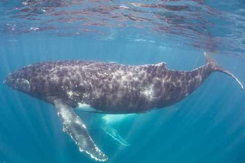 Western Australia: Swim with Humpback Whales
