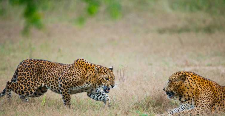 Full-Day Leopard Safari at Yala With Picnic Lunch