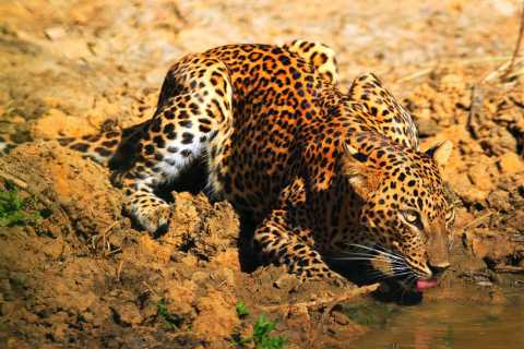 Yala National Park: Morning or Afternoon Game Drive