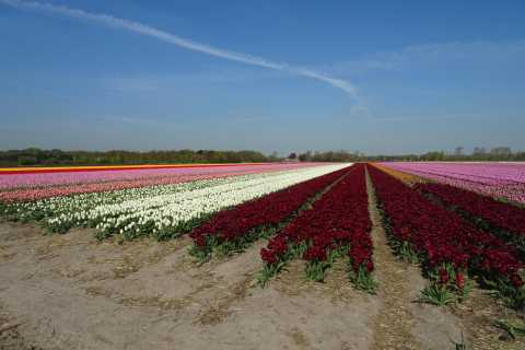 From Amsterdam: Flower Fields Private Tour