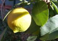 Palermo: Koch- und Limoncello-Kurs