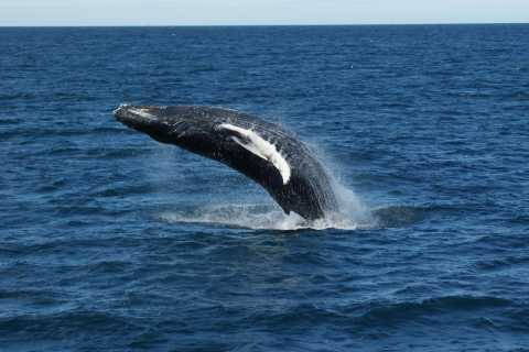 Reykjavik: Whale Watching Excursion