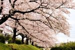 Kyoto: Evening Cherry Blossom and Food Tour