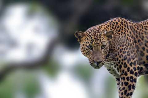 Wilpattu National Park: Leopard Safari Experience