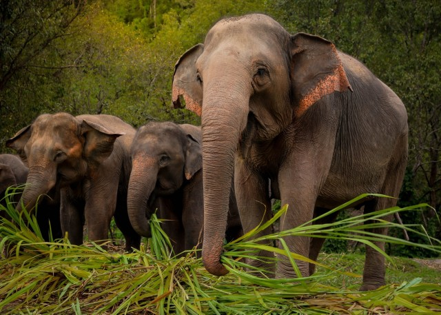 Phuket: Ethical Elephant Sanctuary Interactive Tour