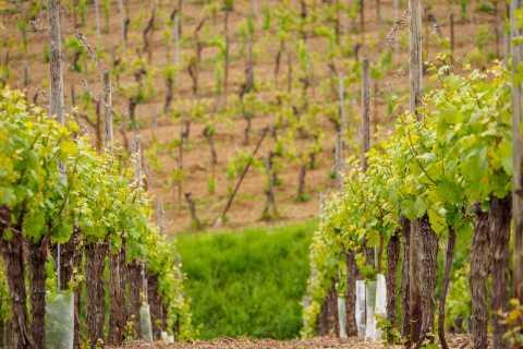 Desde Colmar: tour de cata de vinos de Alsacia