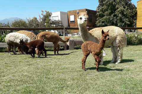 Santiago: Petróglifos Incas, Alpacas e Experiência do Vinho