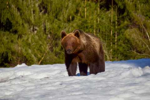 Brasov: Guided Bear-Watching Day Trip in Tusnad Forest