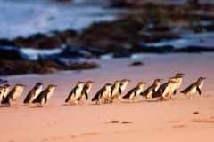 Tour Coalas e Pinguins saindo de Melbourne