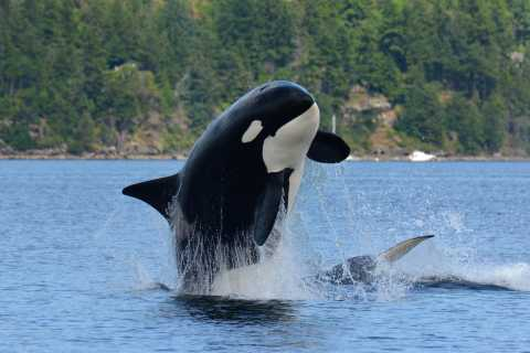 Vancouver Island Full-Day Whale and Wildlife Adventure