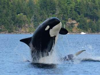 Vancouver Island: Ganztägige Wal- und Wildtier-Abenteuertour