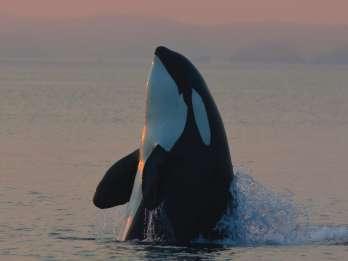 Vancouver Island: Halbtägige Wal- und Wildtier-Abenteuertour