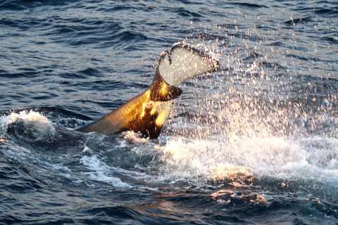 Tromsø: Luxury Yacht Whale Safari