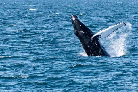 Reykjavik: Malerische Walbeobachtungstour