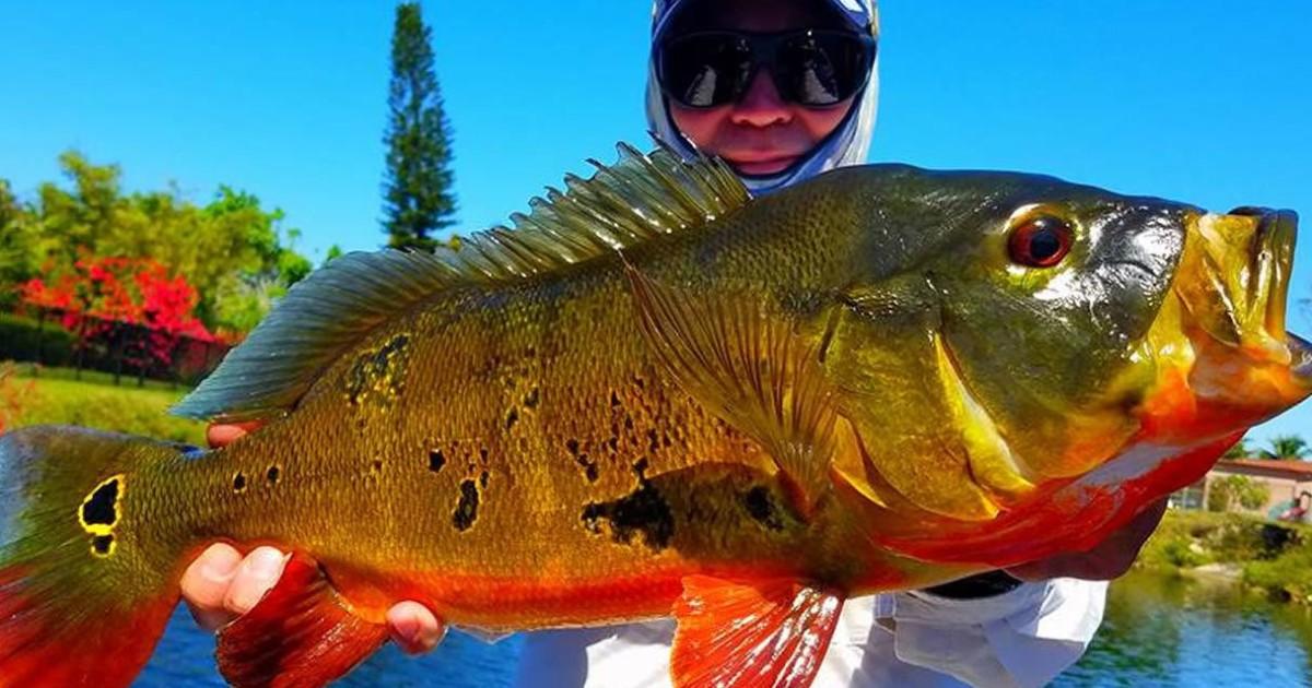 Miami Peacock Bass Fishing Trip