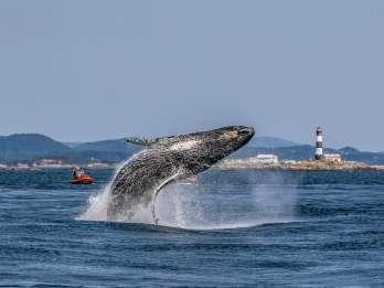 Victoria: Walbeobachtung im Zodiac-Boot