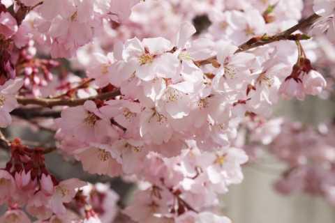 Nagano: Takato Castle Park Cherry Blossom Special Event Tour