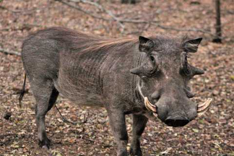 Kruger-Nationalpark: Morgen-Safari