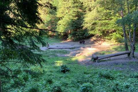 From Brasov: Bear Watching in the Wild