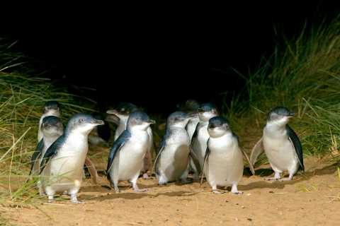 Melbourne: French and Phillip Island Wildlife Expedition