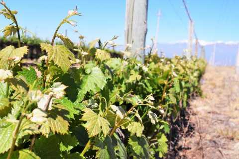 Mendoza: Excursão de Vinhos com Degustação