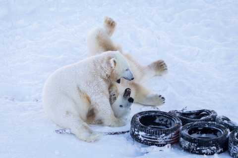 Rovaniemi: Dia no zoológico ártico de Ranua Wildlife Park