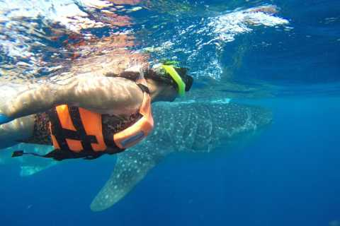Snorkel with Whale Sharks Half-Day Tour from Cancun