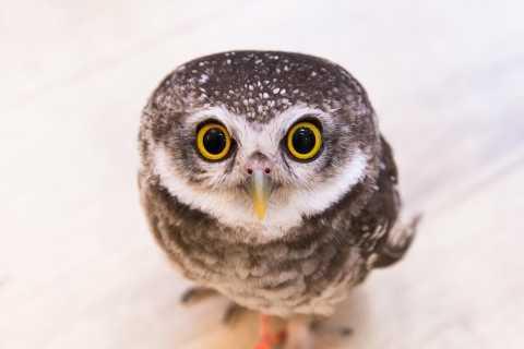 Tokyo: incontro con i gufi all'owl café di Akihabara