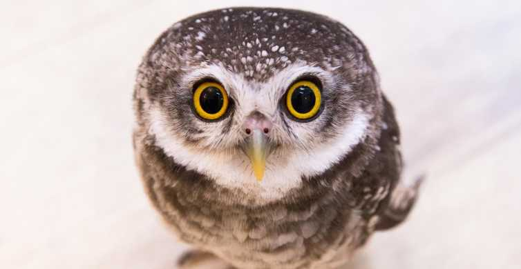 Tokyo: Meet Owls at the Owl Café in Akihabara