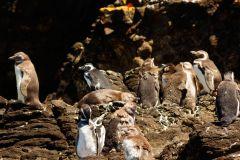 Ilha Chiloe: Colônia de Pinguins Ancud, Caulin e Puñihuil