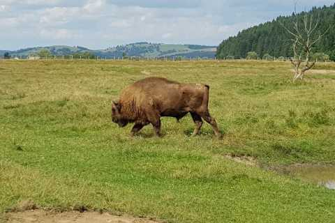 From Brasov: Day Trip to Bison Reserve & Traditional Lunch