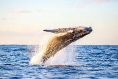Praia de Waikiki: excursão ecológica de observação de baleias matinais