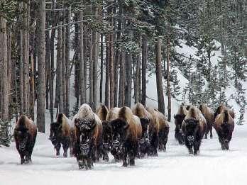Ab Jackson: 4-tägige Grand Teton und Yellowstone Wintertour