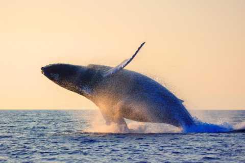 Maui: excursión de 2h de avistamiento de ballenas, Lahaina
