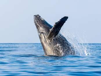 Kailua-Kona: Whale Watching