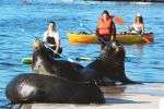 Marina Del Rey: Kayak and Paddleboard Tour with Sea Lions
