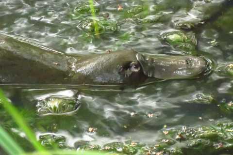 From Byron Bay: Platypus Spotting Walk