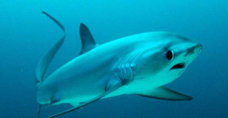 Malapascua: Advance Divers Shark Dive & Optional Transfer