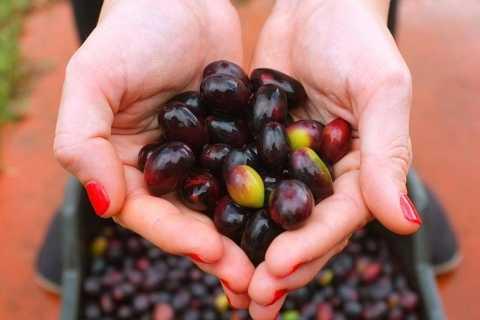 Laconia: Olivenöl- und Weinprobe auf einem Biobauernhof