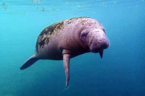 克里斯特尔里弗(Crystal River):与海牛和海豚汽船之旅浮潜