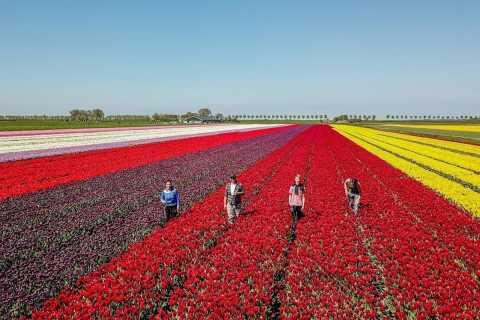 Från Amsterdam: Tulip Fields, Windmills & Local Experience