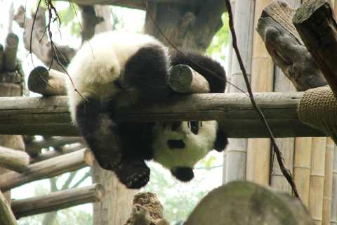 Chengdu Panda Base: 4-Hour Private Tour with Pickup/Drop-Off
