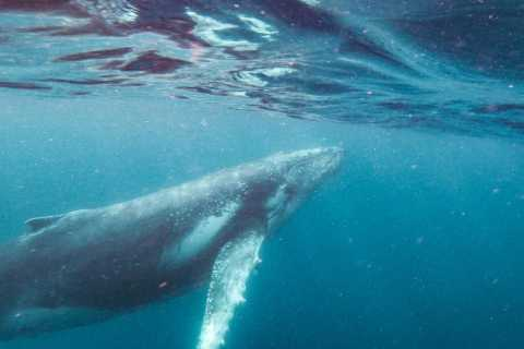 Sunshine Coast: Humpback Whale Cruise And Swim