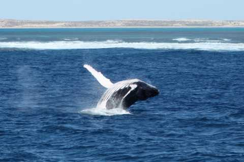 Coral Bay: 3-Hour Whale Watching Experience