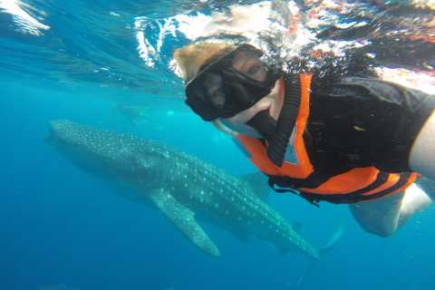 Cancun & Riviera Maya: Swim with Whale Sharks Tour w/ Lunch