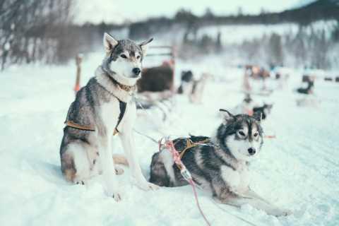 Tromso: Dogsledding under the Northern Lights & Dinner